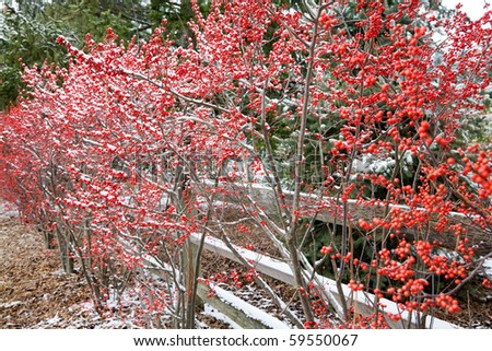 Hawthorn bushes in winter