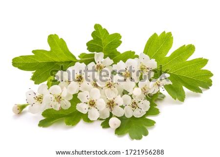 Hawthorn (Crataegus monogyna)  flowers isolated on  white background Foto stock ©