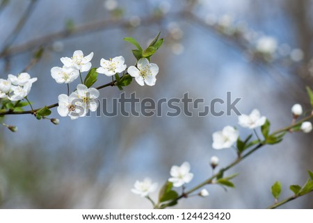 hawthorn flowers blooming on branch, springtime