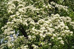 Hawthorn monopestic (Crataegus monogyna Jacq.). Flowering plant
