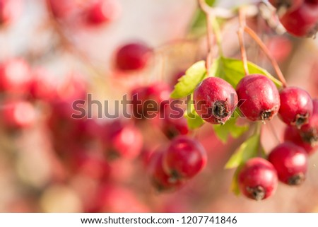 Hawthorn on a bush in autumn #1207741846