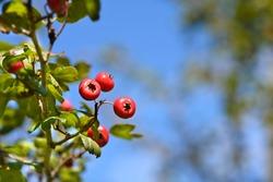 Hawthorn Pauls Scarlet - Latin name - Crataegus laevigata Pauls Scarlet