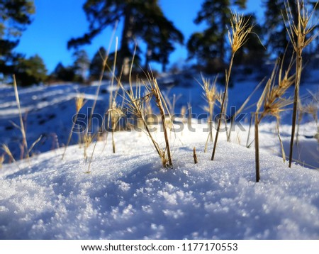 Hay growing out of snow #1177170553