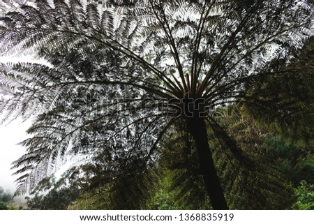 Hay-scented fern tree beautiful crown silhoette with leaves and branches bottom view. Outdoor park with prehistoric life in Madeira Island #1368835919