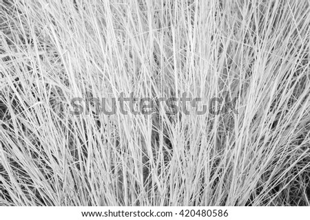 Hay texture background, Infrared tone. #420480586