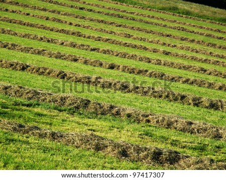 Hay windrows in the field - stock photo
