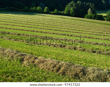 Hay windrows in the field