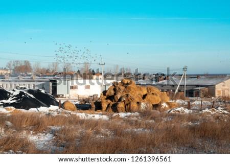 Haystacks on the barnyard. Stockpiles of hay for feeding livestock in winter. Rural scene. Agriculture industry, farming