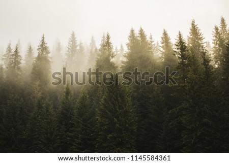 Haze in fir forest