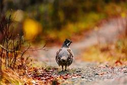Hazel grouse cock standing in colorful fall forest in Finland