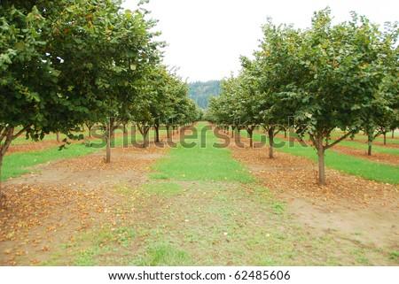 Hazelnut or filbert orchard in the Umpqua Valley near Roseburg Oregon