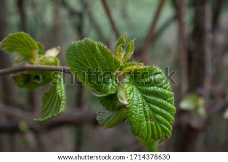 hazelnut tree leaves líska listy Corylus avellana  Zdjęcia stock ©