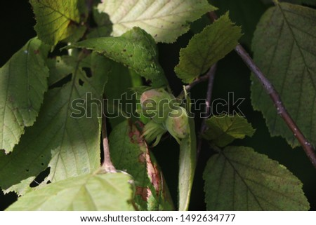hazelnuts on branches, nuts on branches