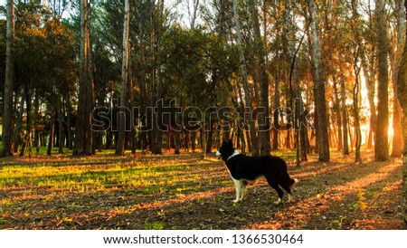 HDR picture of a border collie in the middle of a forest.
