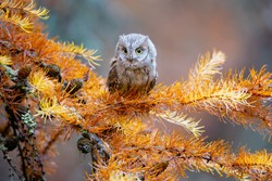 he Eurasian scops owl (Otus scops), also known as the European scops owl or just scops owl, is a small owl. This species is a part of the larger grouping of owls known as typical owls