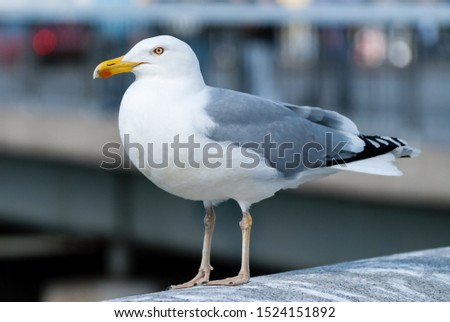 he great black-backed gull (Larus marinus), mistakenly called greater black-backed gull by some, is the largest member of the gull family.