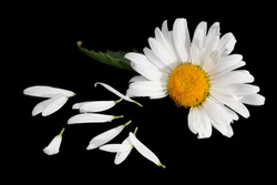 He Loves Me, reading the daisy. Isolated black background