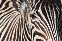 Head and eyes of a zebra in the Animal Park Bretten, Germany