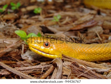 Head and face of a hissing snake - Yellow Rat Snake, Pantherophis obsoleta quadrivittata