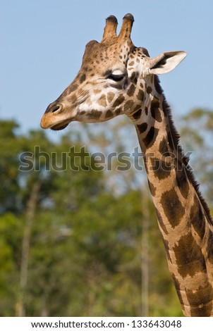 Head and neck of a giraffe facing left of camera