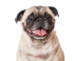 Head and shoulder studio shot of a curious, attentive pug panting with tongue out against white background