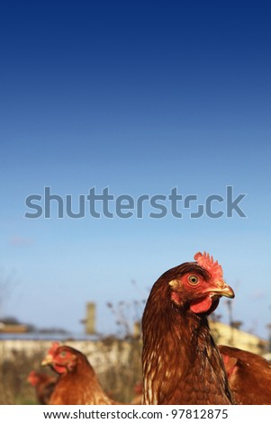 Head and shoulders image of a brown free-range hen, set on a portrait format image against a rich blue sky background, located in a city farm environment. Room for copy above image.