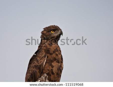 Head and shoulders of a brown snake eagle against blue sky