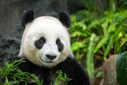 Head and shoulders of Panda sitting in enclosure looking to front and appears happy