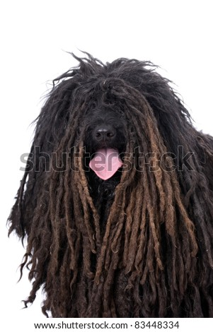 Head and shoulders portrait of a Purebred Puli on a 255 white background.