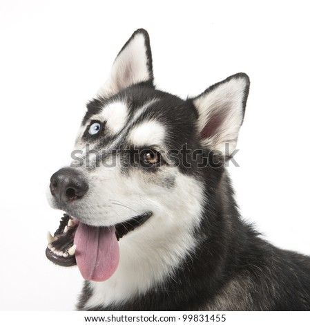 Head and shoulders shot of a  Siberian Husky isolated on white