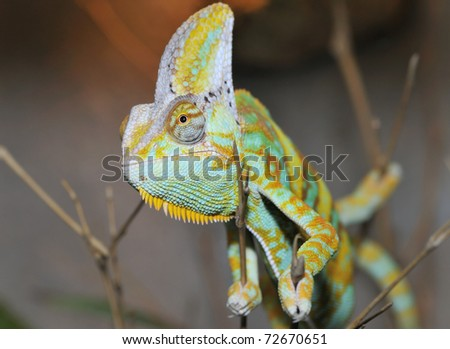 Head close-up of Yemen Chameleon