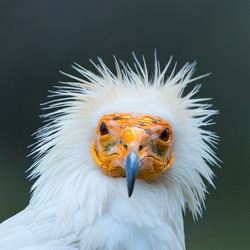 Head detail of an Egyptian Vulture (Neophron percnopterus) or White scavenger vulture or pharaoh's chicken in Spain, Europe