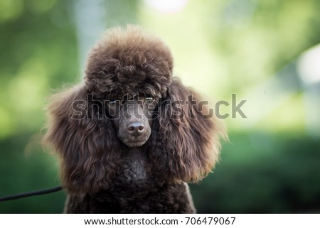 head detail portrait of adorable cute brown toy poodle