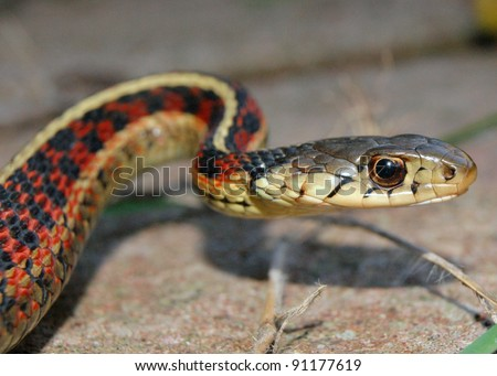 Head, face, and tongue of a Red-sided Garter Snake, Thamnophis sirtalis parietalis