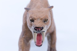 Head face Macro close up toy female Smilodon saber-toothed roaring and in attack position with white background