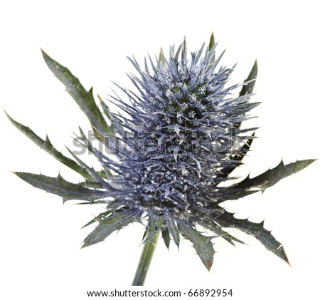 Head flowering thistle , blue sea holly snowy (eryngium planum ) isolated on white background