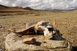Head from dead animal, mountain desert, Ladakh, India
