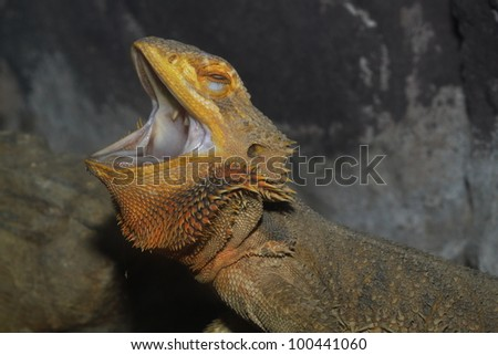 head Horned Lizard