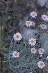 Head inflorescences of yellow and purple bloom from Leafy Fleabane, Erigeron Foliosus, Asteraceae, native hermaphroditic herbaceous perennial, San Bernardino Mountains, Transverse Ranges, Summer.