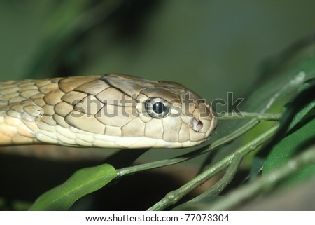 head King Cobra