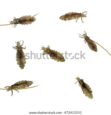 Head lice (louse) on human hair isolated on a white background