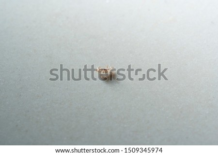 Head lice (louse) on white background.