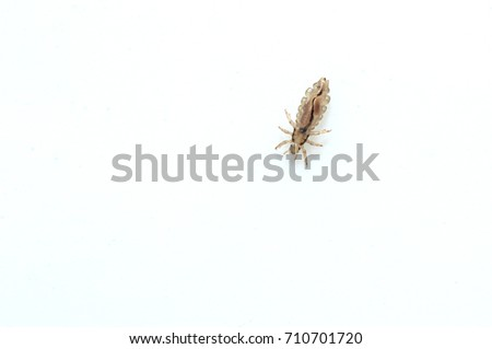 Head louse on a white background closeup macro photo
