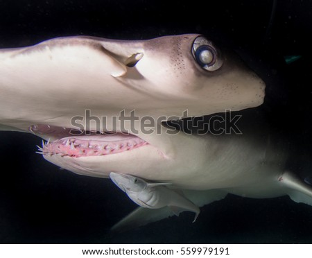 Head mouth and teeth close up of a great hammerhead shark. #559979191