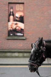 Head of a black horse waiting for its master. Horse-drawn carriage in Crane Street, Dublin.