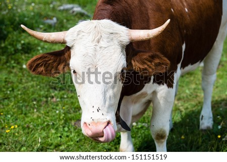 Head of a brown bull cow grazing in the Bavarian Alps