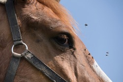 Head of a brown horse with lots of flies on the nose, around the eye and in the blue sky