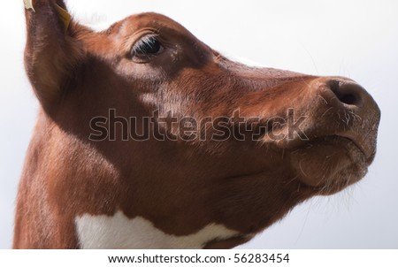 Head of a calf
