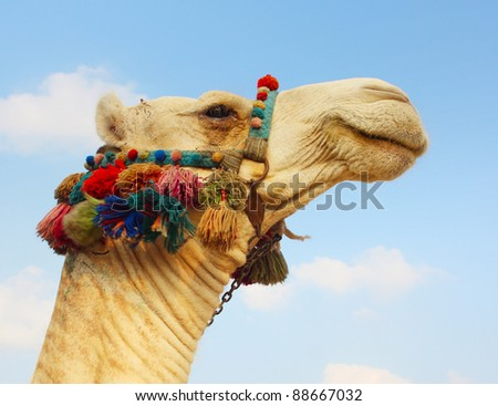 Head of a camel with colored bedouin's decoration
