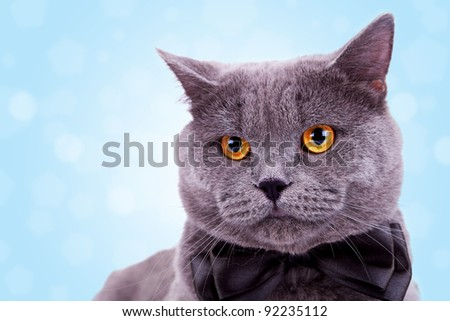 head of a cute big english cat wearing a black bow tie on white background - stock photo